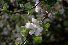 Apple blossom (dididumm) Tags: pink white tree apple sunshine spring blossom weiss baum apfelbaum frhling newlife sonnenschein inbloom apfelblte neuesleben blhend burgfrieden