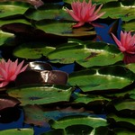 Pink Water Lilies Of The Patuxent Research Refuge thumbnail