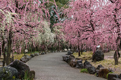 20160229-100334_5K_80 (pya) Tags: kyoto  camellia plumblossoms jonangu     weepingplumblossoms