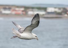 Fulmar over the bay! (swordscookie) Tags: ireland houses sea two dublin white bird flying bill north cliffs fulmar nesting skerries fingal loughshinny nikond700 sigma150500 tubenosed