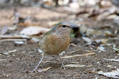 Blue-rumped Pitta (female) (Vinchel) Tags: park bird nature animal cat canon is outdoor wildlife vietnam national ii l usm f28 tien 400mm 1dx