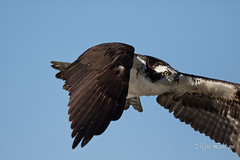 Osprey in flight (Maja's Photography) Tags: portrait fish canada nature birds closeup canon flight feathers osprey