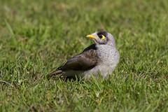 Noisy Miner (Byron Taylor) Tags: bird nature birds canon wildlife sydney australia southpacific miner noisyminer australiasia canon7d