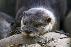Otter on the stone (Tambako the Jaguar) Tags: portrait cute stone zoo switzerland nikon farm explore tired otter bern lying d4 johnskleinefarm