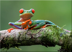 """""""There, there"""" (d-lilly) Tags: forest costarica frogs tropical amphibians redeyedfrog"""