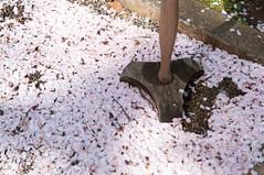 Petals (Wunkai) Tags: japan petals  sakura   ibarakiken kashimashrine mitoshi