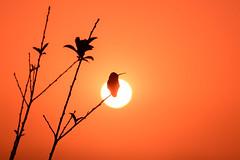 Setting in the Sun (Shi Yu) Tags: california birds hummingbird sandiego places shiyuphotographyyushiphotographysunstonephotography