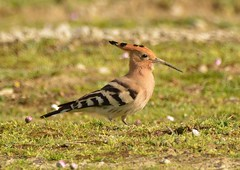 Hoopoe (Upupa epops) (OWL62) Tags: bird portland bill nikon dorset migratory upupaepops hoopoe d7100