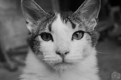Gato B/N (Tato Avila) Tags: animal monocromo bigotes ojos gato vida felinos blanconegro tolima