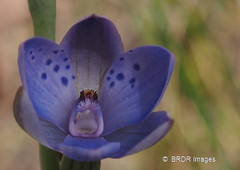Thelymitra juncifolia, Large-spotted Sun Orchid, on Black Mountain (BRDR images) Tags: australia canberra blackmountain australiancapitalterritory australianflora flowerphotography thelymitrajuncifolia photoecology largespottedsunorchid ourfragileearth