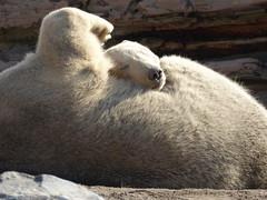 Snoozing (m_artijn) Tags: bear sun cub rotterdam blijdorp sleep mother nl polar