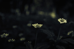 Little things (Premnath Thirumalaisamy) Tags: life flower nature nikon artistic happiness 1855mm cubbonpark muted littlethings