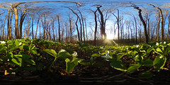 360 - Springtime Woodland (Matt Champlin) Tags: sun beautiful woodland spring woods 360 bloom wildflowers ricoh springtime theta 2016 trilliums equirectangular sphericalimage 360degreeimage equirectangularimage