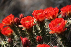 Claret Cup Cactus in bloom in Big Bend National Park
