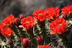 Claret Cup Cactus in bloom in Big Bend National Park (BradleyA) Tags: park red cactus southwest cup cacti canon big texas desert bend national bloom nofilter claret