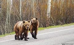 Siblings (Henry T. Cadwalader) Tags: bear wild nature photography nationalpark nikon earth wildlife bears conservation wyoming endangered grizzly tamron grandteton jacksonhole wy mypark gtnp wildlifephotography jacksonwy