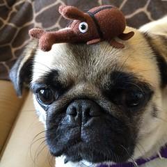 pug with rhinoceros beetle (wombatarama) Tags: pug