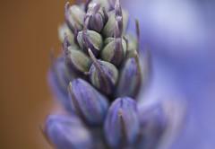 Buds Of Blue (ereid88) Tags: uk england macro daylight spring bluebell