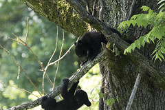 Black Bear cubs (Robert Strickland) Tags: bear wild usa baby playing black tree nature animal forest fur mammal outdoors cub us tn wildlife young climbing playful townsend carnivore