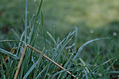 ([gegendasgrau]) Tags: green nature water grass drops weed wasser bokeh natur dew gras grn dortmund morningdew tropfen morgentau 2016