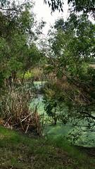 green waters (ClareSnow) Tags: autumn lake water australia naturereserve perth eucalyptus algae waterlevel eucalyptusrudis floodedgum lakegwelup lakegwelupreserve