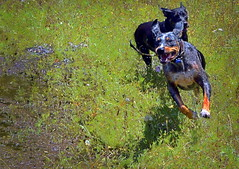 500 Meter Hawk Feather Relay (netaloid) Tags: dogs nature painting spring funny farm gimp catahoula