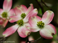 I have found that the only consolation is never regretting anything that you do. Never look back, always look forward and continue moving along with.... (itucker, thanks for 2.1+ million views!) Tags: macro bokeh dogwood cornus pinkdogwood hbw wralgardens