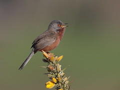 Dartford Warbler (Hammerchewer) Tags: male bird outdoor wildlife dartfordwarbler