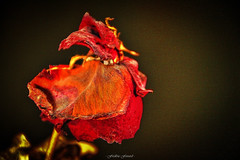 Rose Sche (Frdric Fossard) Tags: macro art rose grain hdr ptale naturemorte abstrait fleursche suuraliste