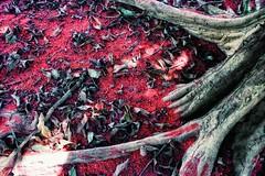 (cecymoreira) Tags: life brazil tree nature colors fruit canon countryside minas gerais natureza rvore mato roa jambo jambeiro tocantins 60d