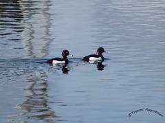 Tukkasotka, Tufted duck, Aythya fuligula (Kenru24) Tags: duck tufted tukkasotka