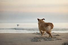 bird hunting (Jutta Bauer) Tags: bird beach goldenretriever albert hunting running