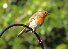 20Apr16 Robin in the Sun (Daisy Waring World) Tags: robin metalarch
