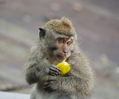 Bali, Indonesia (margoosia) Tags: bali indonesia monkey ontheroad