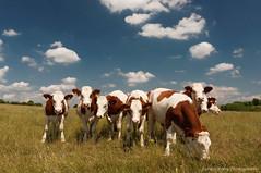 Curious girls (Johan Konz) Tags: blue sky white france green field animal clouds landscape cow village cows cloudy outdoor curious grassland farmanimal franchecomte hautesane vauvillers hurecourt