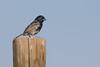 Negrillo (ik_kil) Tags: chile birds blueblackgrassquit grassquit lluta volatiniajacarina avesdechile negrillo regióndearicayparinacota valledellluta semilleritonegriazulado volatiniajacarinaperuviensis
