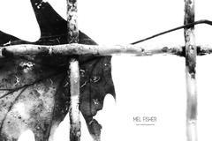 japp (* Mel Fisher *) Tags: winter bw white black detail broken closeup silver grid blackwhite leaf focus wind free windy structure system more together sw blatt weiss less schwarz hold gitter frei freiheit halt badenwürttemberg zusammen stuktur verfangen