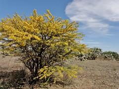 Acacia farnesiana (L.) Willd. (carlos mancilla) Tags: flowers flores huizache olympussp570uz acaciafarnesianalwilld
