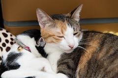 20160119-DSC_9274 (Noelas) Tags: pet cat ed momo nikon taiwan na mo 01 nana taipei nikkor dslr    19 vr  afs   2016 f4g 24120mm 24120   d810  nikond810  yn565ex nikonafsnikkor24120mmf4gedvr