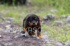 Little Rottweiler Running (kalypsoworldphotography) Tags: dog pet motion black male nature speed train training puppy fur happy jump friend play action outdoor expression coat guard running rottweiler run calm marks domestic strength breed harness popular companion protection powerful alert confident mellow devoted fearless intelligent steady courageous obedient intimidate rotties rotts selfassured biddable familyguardian