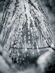 Snowy Pine (Kelly_MR) Tags: blackandwhite bw macro pine 60mm em1 pinebranches snowybranches snowypine microfourthirds olympusomdem1 60mmmft