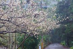 DSC03004 (mb10001114) Tags: white flower 50mm nikon sony plum taiwan  nikkor dslr   plumflower  nantou    nikkorsc50mmf14   oldlens    nex5t xinyicountry