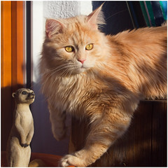 On bug watch together (FocusPocus Photography) Tags: pet animal cat meerkat chat linus gato katze haustier kater tier erdmnnchen