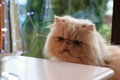 Soon (rreyn92) Tags: christmas cats animal animals cat lights persian expression expressive soon plotting peeping