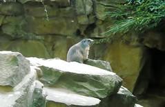 Murmeltier***Groundhog (BrigitteE1) Tags: groundhog 2010 groundhogday murmeltier zooberlin dadelamarmota  theonlytimeisawagroundhog   daseinzigemaldassicheinmurmeltiersah