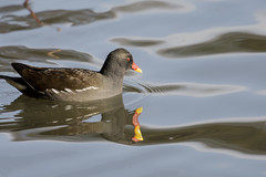 Moorhen (Pabs777) Tags: nikond7200 nikon d7200 nikonafs200500mmf56evr moorhen animal bird birds nature newmillerdam wakefield uk 2016 animalplanet wildlife