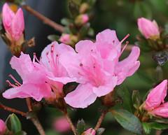 Azalea: 3.2.16.  *10 (VolVal) Tags: pink flowers garden evergreen dorset azalea february shrub bournemouth boscombe