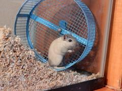 DSCN1425 (therovingeye) Tags: pets wheel gerbil running smallanimals gerbilwheel gerbilhabitat