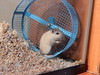 DSCN1425 (therovingeye) Tags: pets wheel gerbil running smallanimals gerbilwheel gerbilhabitat