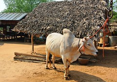 Bagan: boeuf birman (ee) Tags: temples myanmar campagne bagan birmanie charrette paysans arachide cacahutes pagodes asiedusudest buf patrimoines trsorsdebirmanie